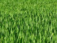 Grashalme, Getreidehalme, grünes Feld, Saat