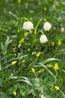 Leucojum verum, Märzenbecher, Frühlingsknotenblume