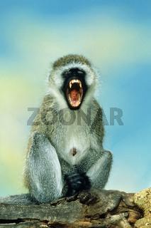 Gruene Meerkatze, Vervet Monkey, Masai Mara, Kenia