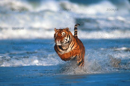 Bengaltiger, Koenigstiger, Panthera tigris tigris, Bengal Tiger, Royal Tiger