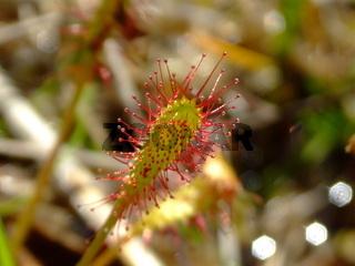 Fleischfressende Pflanze Sonnentau