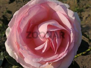 Rosa 'Eden-Rose', Strauchrose, Meilland 1985, zart-seidenrosa, Eden