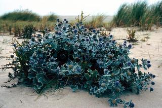 stranddistel, eryngium maritimum, sea holly, panicaut maritime, cardo marino