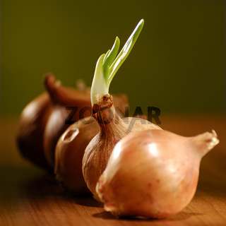 Zwiebeln, Allium cepa, Onions
