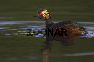 Schwarzhalstaucher, Black-necked Grebe, Podiceps nigricollis