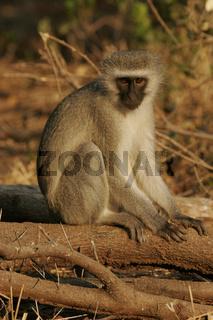 Suedliche Gruenmeerkatze, Chlorocebus pygerythrus, Vervet Monkey