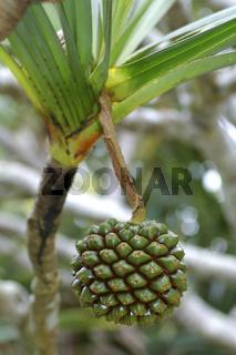Frucht des Schraubenbaums