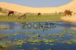 Grasland am Rande der Wüste, Mui Ne, Vietnam