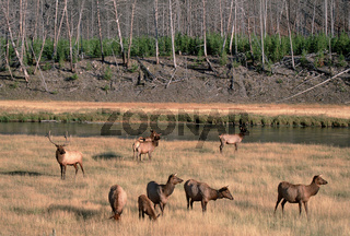 Elch, Alces alces, moose, Elk, Bull und Harem, Yellowstone, USA