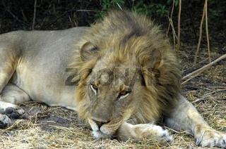 Schläfriger Löwe