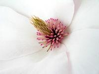 Magnolienblüte II.