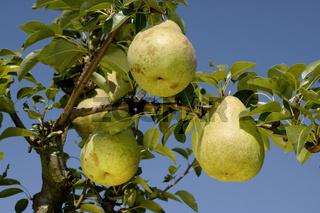 Pears on tree, Highland, Birne,  Pyrus communis, Birnen am Baum, Rosengewaechse