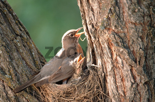 wanderdrossel, turdus migratorius, american robin