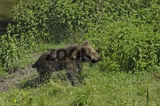 Europaeischer Braunbaer, Ursus arctos, European Brown Bear,
