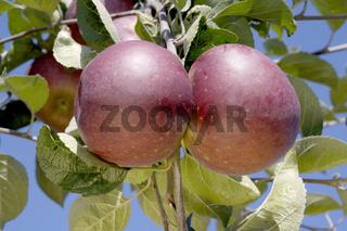 Apples on tree, Bavaria, Germany, Red Winter, Aepfel am Baum, Bayern, Deutschland