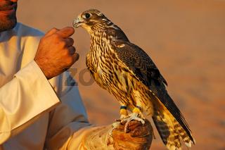 Jagdfalke auf der Hand eines Falkners
