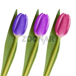 drei Tulpen 1