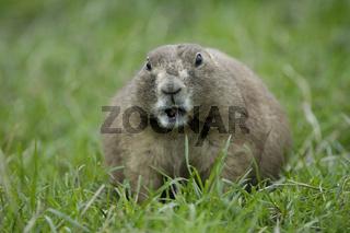 Schwarzschwanz-Praeriehund, Black-tailed Prairie Dog (Cynomys ludovicianus)