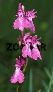 Orchis palustris (Sumpf-Knabenkraut)