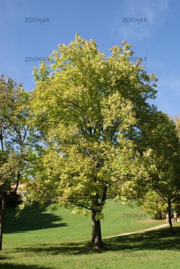 Fraxinus excelsior, Esche, Ash tree