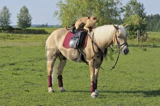 Hund auf Pferd