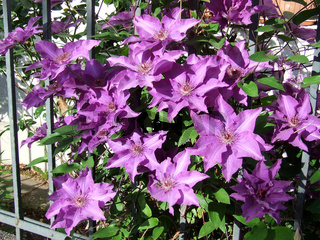 Clematis x Hybride The President, Waldrebe