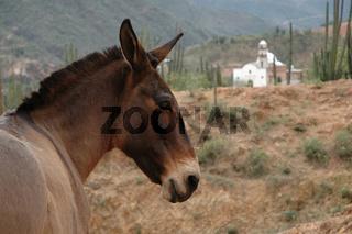 Donkey, Baranca del Cobre, Mexico