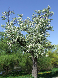 Pyrus communis, Birnbaum, Pear
