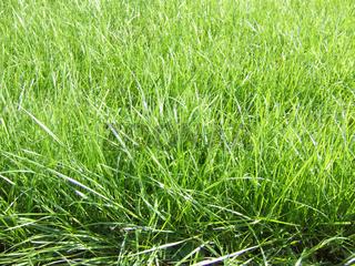 Rasen, Lawn