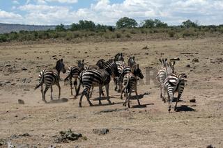Kenia - Masai Mara - Migration