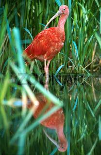 scharlachsichler, roter sichler, Scharlachibis, Scharlachsichler, eudocimus ruber, scarlet ibis