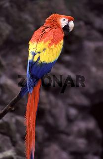 hellroter ara, ara macao, scarlet macaw, arakanga