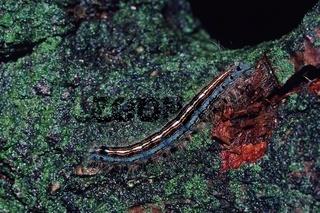 Malacosoma neustria, Ringelspinner, Raupe