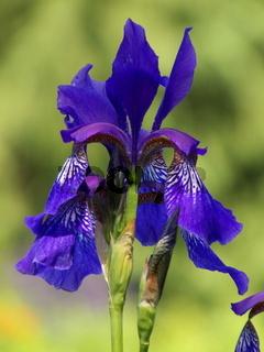 Blaue Schwertlilie