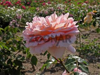 Rosa 'Abraham Darby', Strauchrose, Englische Rose