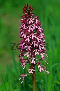 Orchis purpurea, Purpur-Knabenkraut