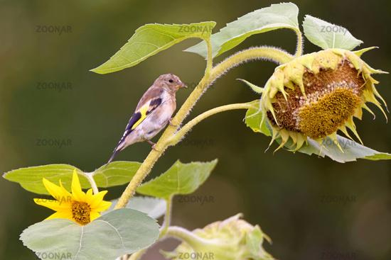Distelfink auf einer Sonnenblume