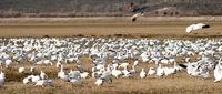 Snow Geese Flock Together Spring Migration Wild Birds