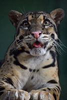 Close up portrait of clouded leopard