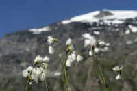 Wollgras (Eriophorum sp.)