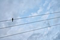 Black bird sitting on electric cable