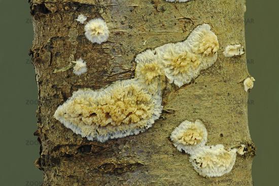 Krustenstachelbart (Sarcodontia setosa)