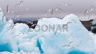 Birdlife in Jokulsarlon, a large glacial lake in Iceland