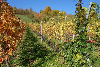 Vitis vinifera Merlot, Weinberg, vineyard