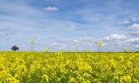 Walnussbaum (Juglans regia) im Rapsfeld (Brassica napus)