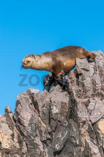 Sea Lion in Puerto Deseado, Patagonia, Argentina