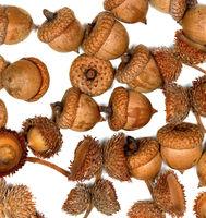 Autumn dry acorns on white background