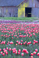 Rustic Barn Weathered Wood Multiple Colors Tulip Farm Flowers
