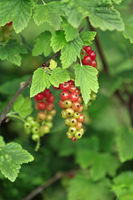 Currant plant
