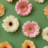 pattern of colorful flowers gerbera isolated on a green